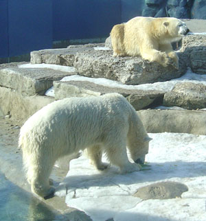 information facts polar bears